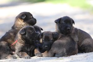 Belgian-Malinois-Puppies-BTWW-Hannibal-Litter-Feb-2019-0110