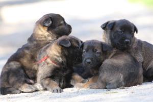 Belgian-Malinois-Puppies-BTWW-Hannibal-Litter-Feb-2019-0111