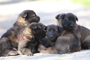 Belgian-Malinois-Puppies-BTWW-Hannibal-Litter-Feb-2019-0112