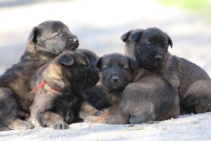Belgian-Malinois-Puppies-BTWW-Hannibal-Litter-Feb-2019-0113