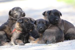 Belgian-Malinois-Puppies-BTWW-Hannibal-Litter-Feb-2019-0114