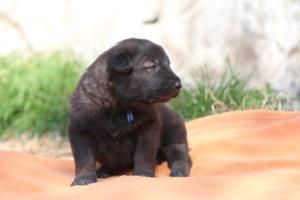 Belgian-Malinois-Puppies-BTWW-Hannibal-Litter-Feb-2019-0115