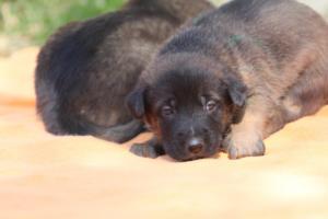 Belgian-Malinois-Puppies-BTWW-Hannibal-Litter-Feb-2019-0117