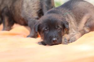 Belgian-Malinois-Puppies-BTWW-Hannibal-Litter-Feb-2019-0118
