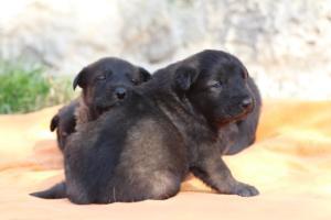 Belgian-Malinois-Puppies-BTWW-Hannibal-Litter-Feb-2019-0120