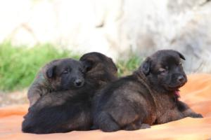 Belgian-Malinois-Puppies-BTWW-Hannibal-Litter-Feb-2019-0122