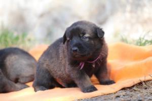 Belgian-Malinois-Puppies-BTWW-Hannibal-Litter-Feb-2019-0123
