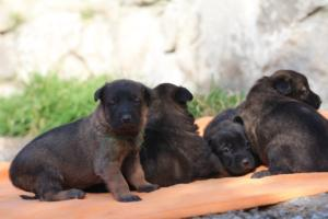 Belgian-Malinois-Puppies-BTWW-Hannibal-Litter-Feb-2019-0124