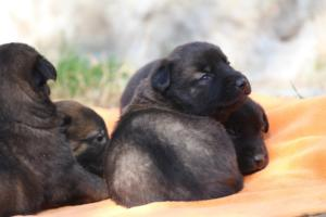 Belgian-Malinois-Puppies-BTWW-Hannibal-Litter-Feb-2019-0125