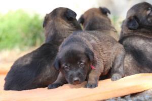 Belgian-Malinois-Puppies-BTWW-Hannibal-Litter-Feb-2019-0126