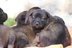 Belgian-Malinois-Puppies-BTWW-Hannibal-Litter-Feb-2019-0128