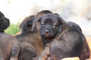 Belgian-Malinois-Puppies-BTWW-Hannibal-Litter-Feb-2019-0129