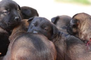 Belgian-Malinois-Puppies-BTWW-Hannibal-Litter-Feb-2019-0132
