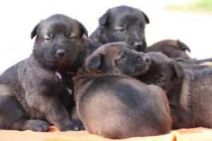 Belgian-Malinois-Puppies-BTWW-Hannibal-Litter-Feb-2019-0135