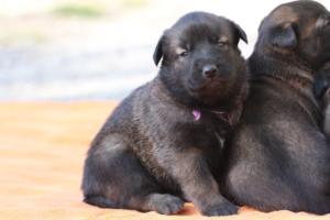 Belgian-Malinois-Puppies-BTWW-Hannibal-Litter-Feb-2019-0136