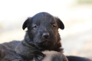 Belgian-Malinois-Puppies-BTWW-Hannibal-Litter-Feb-2019-0140