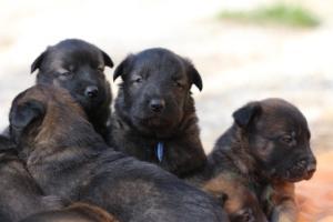 Belgian-Malinois-Puppies-BTWW-Hannibal-Litter-Feb-2019-0142