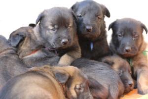 Belgian-Malinois-Puppies-BTWW-Hannibal-Litter-Feb-2019-0144