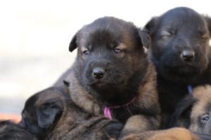 Belgian-Malinois-Puppies-BTWW-Hannibal-Litter-Feb-2019-0146
