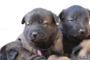Belgian-Malinois-Puppies-BTWW-Hannibal-Litter-Feb-2019-0147