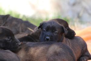 Belgian-Malinois-Puppies-BTWW-Hannibal-Litter-Feb-2019-0153