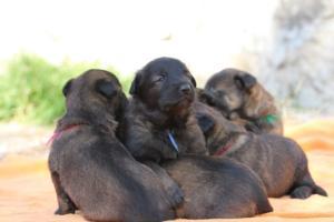 Belgian-Malinois-Puppies-BTWW-Hannibal-Litter-Feb-2019-0156