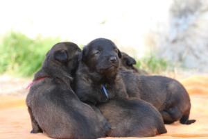 Belgian-Malinois-Puppies-BTWW-Hannibal-Litter-Feb-2019-0157