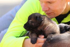 Belgian-Malinois-Puppies-BTWW-Hannibal-Litter-Feb-2019-0158