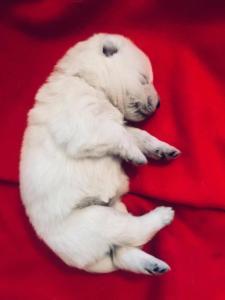 Valge lambakoera kutsikad 6