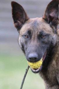 Belgian-Shepherd-Dog-Malinois-Risk-van-Valescas-Home-April-20150007