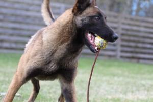 Belgian-Shepherd-Dog-Malinois-Risk-van-Valescas-Home-April-20150008
