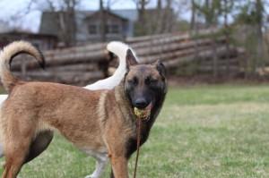 Belgian-Shepherd-Dog-Malinois-Risk-van-Valescas-Home-April-20150010