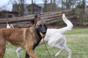 Belgian-Shepherd-Dog-Malinois-Risk-van-Valescas-Home-April-20150014