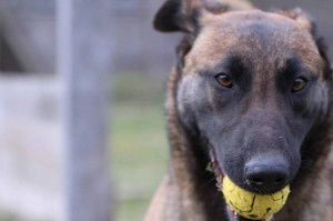 Belgian-Shepherd-Dog-Malinois-Risk-van-Valescas-Home-April-20150017