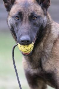 Belgian-Shepherd-Dog-Malinois-Risk-van-Valescas-Home-April-20150018