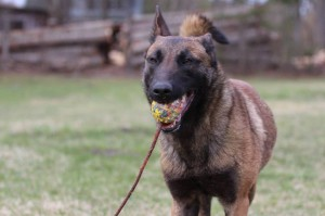 Belgian-Shepherd-Dog-Malinois-Risk-van-Valescas-Home-April-20150020