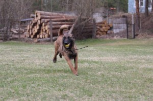 Belgian-Shepherd-Dog-Malinois-Risk-van-Valescas-Home-April-20150025