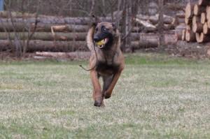Belgian-Shepherd-Dog-Malinois-Risk-van-Valescas-Home-April-20150026