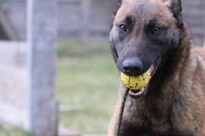 Belgian-Shepherd-Dog-Malinois-Risk-van-Valescas-Home-April-20150027