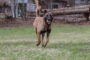 Belgian-Shepherd-Dog-Malinois-Risk-van-Valescas-Home-April-20150030