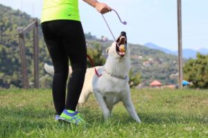 White-Swiss-Shepherd-Breeding-Male-BTWW-Wahlman-August-2018-0002