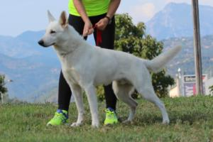 White-Swiss-Shepherd-Breeding-Male-BTWW-Wahlman-August-2018-0003