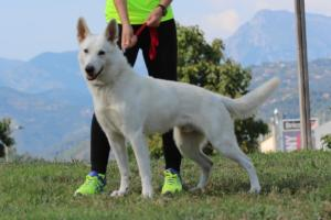 White-Swiss-Shepherd-Breeding-Male-BTWW-Wahlman-August-2018-0004