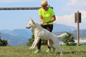 White-Swiss-Shepherd-Breeding-Male-BTWW-Wahlman-August-2018-0006