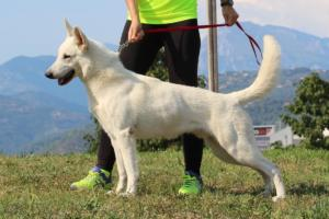 White-Swiss-Shepherd-Breeding-Male-BTWW-Wahlman-August-2018-0007