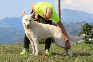 White-Swiss-Shepherd-Breeding-Male-BTWW-Wahlman-August-2018-0008