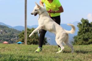 White-Swiss-Shepherd-Breeding-Male-BTWW-Wahlman-August-2018-0011