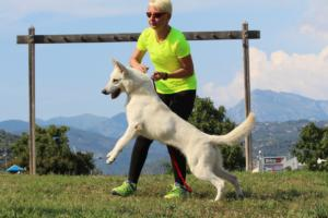 White-Swiss-Shepherd-Breeding-Male-BTWW-Wahlman-August-2018-0012