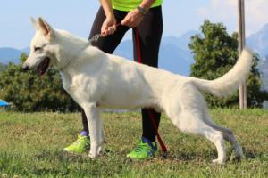 White-Swiss-Shepherd-Breeding-Male-BTWW-Wahlman-August-2018-0016