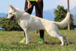 White-Swiss-Shepherd-Breeding-Male-BTWW-Wahlman-August-2018-0017
